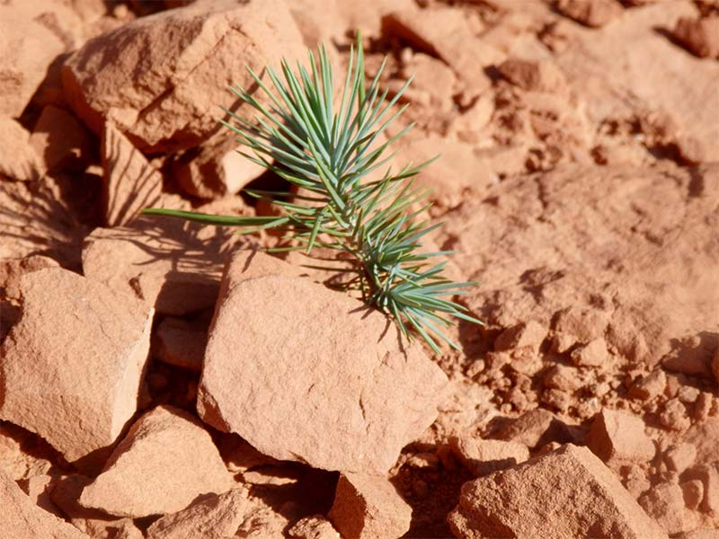 Small tree trying to establish itself in the cryptobiotic soil.