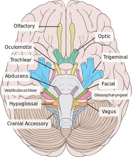 Inferior surface of brain where cranial nerves exit brainstem
