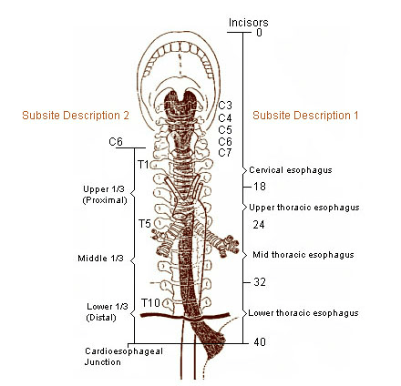 This diagram gives location of esophagus in relation to spine and distance from the incisors. Proximal 1/3 through distal 1/3.