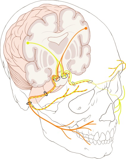 Cranial nerves and Swallowing: Route of facial nerve