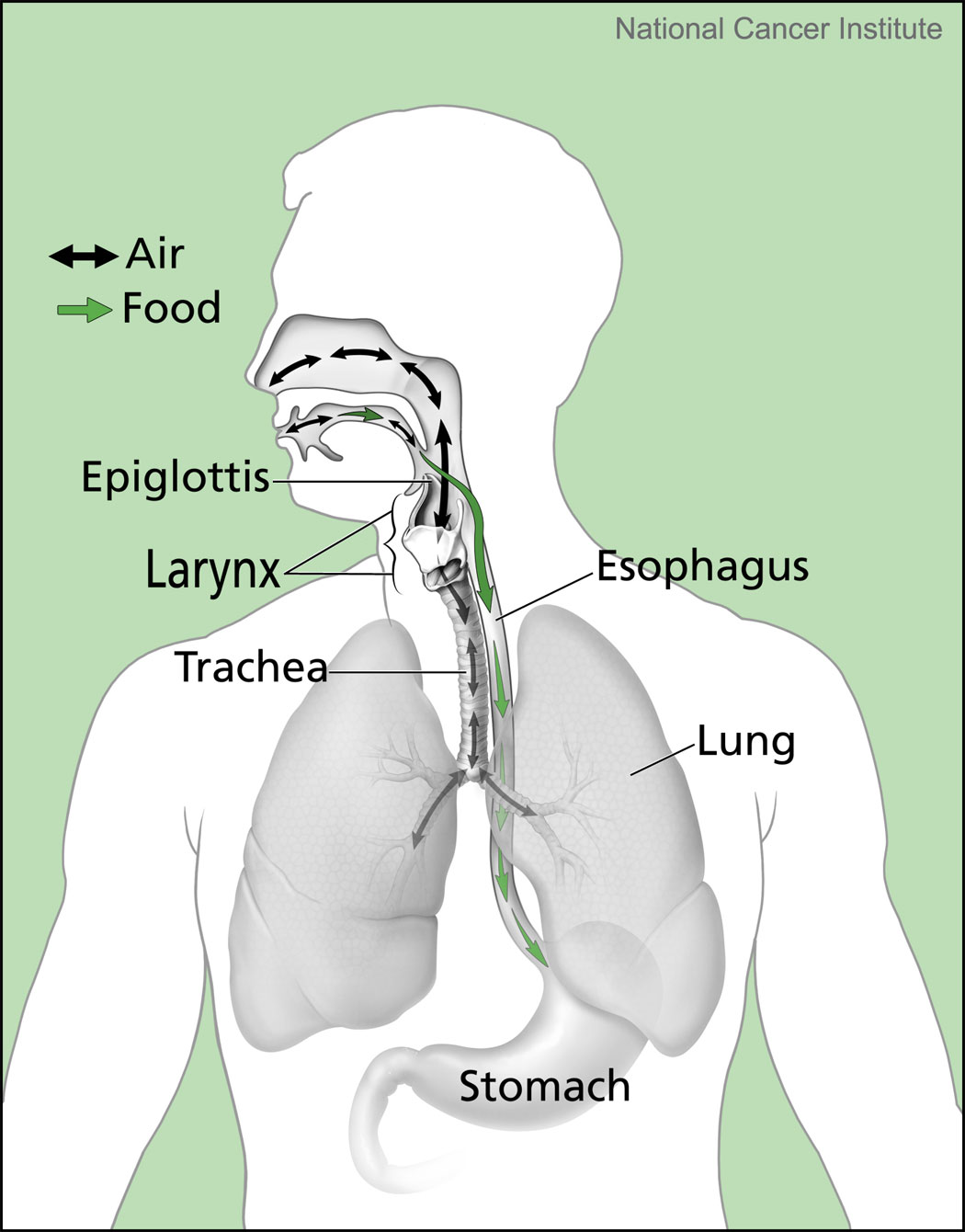 this diagram shows how the passages for air and food/liquid cross, increasing patient safety risks.