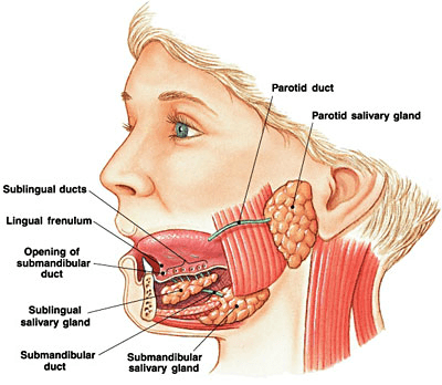 Lateral view of head with salivary glands depicted, reflects the complexity of saliva.