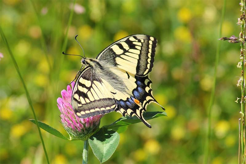 Picture of a real swallowtail butterfly