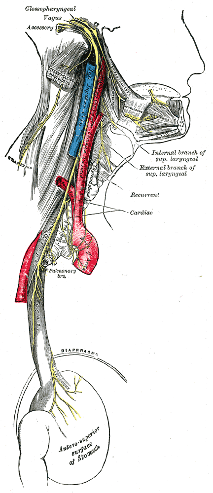 Vagus nerve, cranial nerve number 10, travels around the aorta before innervating the true vocal cord on the left side. This is the recurrent laryngeal nerve branch.